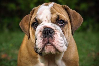 dressage bulldog