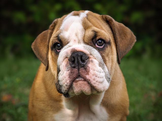 dressage bulldog